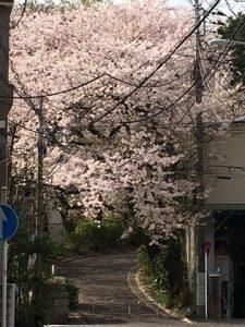 岩亀整骨院 掃部山公園入口桜