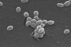 Enterococcus_faecalis